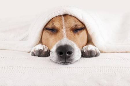 coronavirus chien